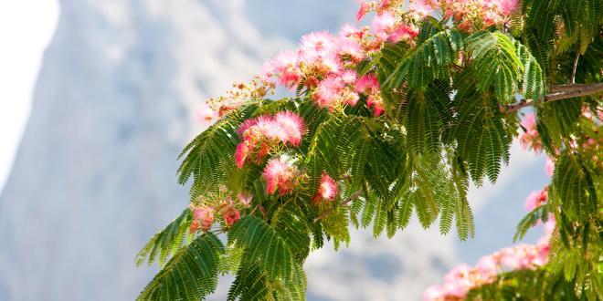 a persian silk tree in bloom
